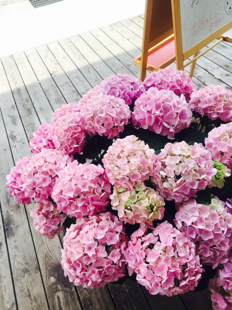 大きな紫陽花が届きました♪